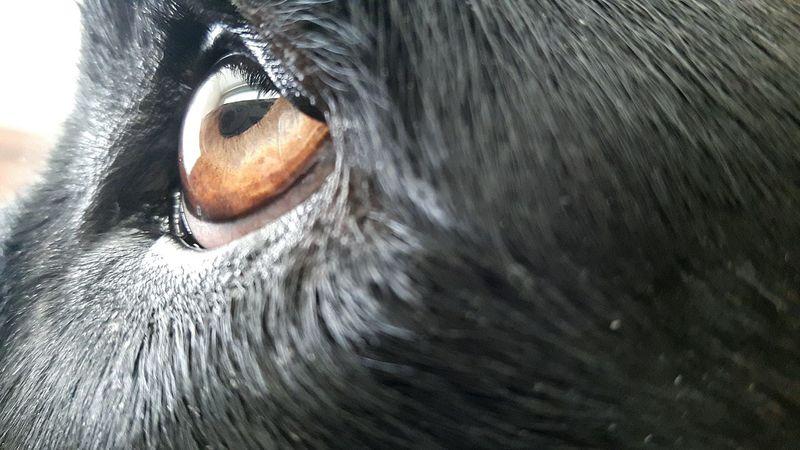 Taking Photos Hello World Naranja Orange Peace Eye Ojo Brown Eye Ojo Marron Animal Animal Animals Black Labrador Dog Perro Perra Love Amor Paz Negra Negro Macro Pupil Pupila