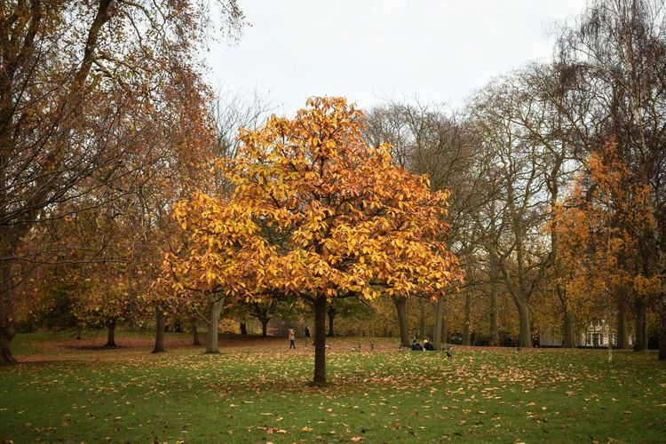 Tree Growth Outdoors Nature No People Grass Day Freshness Autumn Autumn Colors London Trees Fragility Grey Day Park Alone Tranquility Autumn Day Wood Forest Group Of Trees Sky Day Out Leaves On The Ground Brown Color