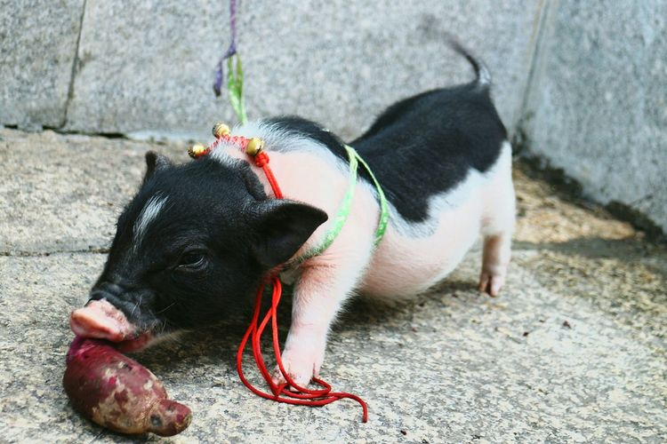 Close-up of pig eating sweet potato on footpath