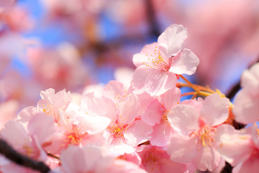 Almond Tree Beauty In Nature Blossom Branch Cherry Blossom Cherry Tree Close-up Day Flower Flower Head Fragility Freshness Growth Nature No People Outdoors Petal Pink Color Plant Plum Blossom Springtime Stamen Sunlight Tree Twig