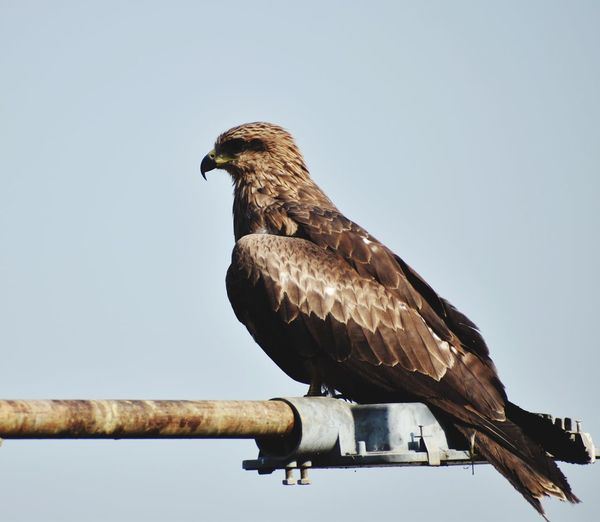 Low angle view of eagle perching on wood against clear sky