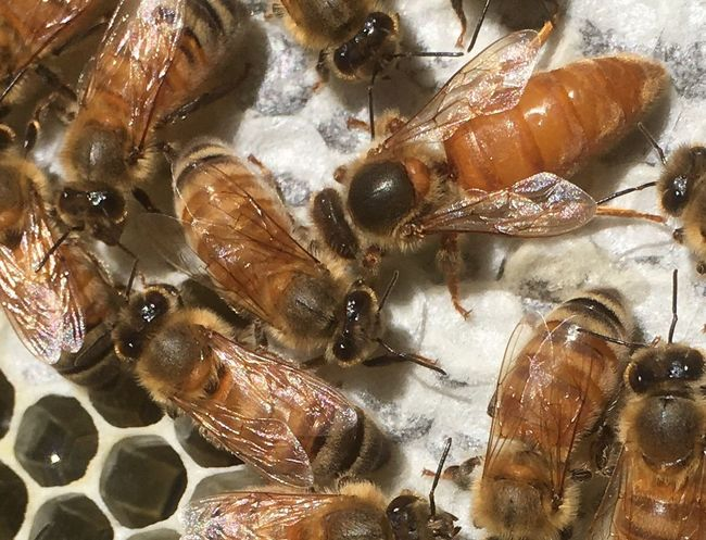 Queen bee with workers, all girls 💁🏼‍♀️🐝 Beesofnz Honey Comb QueenBee Cellosbees Beesofeyeem Food No People Freshness Healthy Eating