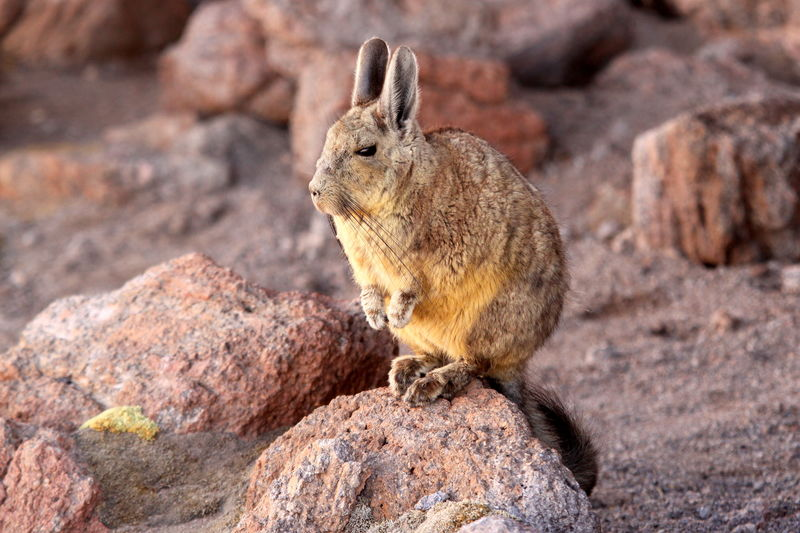 The Southern Viscacha or Mountain Viscacha (Lagidium viscacia) is a desert rodent which also looks remarkably like a long-tailed rabbit. Desert of Siloli, Bolivian Altiplano, Bolivia Love Life, Love Photography Altiplano America Andes Animal Themes Animal Wildlife Animals In The Wild Bolivia Bolivian Cute Desert Lagidium Mammal Mountain Mountains One Animal Rabbit Rock - Object Rocks Rodent Siloli South Southern Tail Viscacha Viscacia