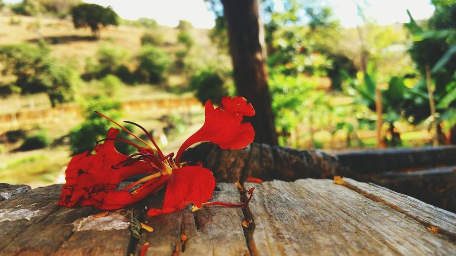 Red flower 🌺 Nature Flower Focus On Foreground Day No People Beauty In Nature Brasil