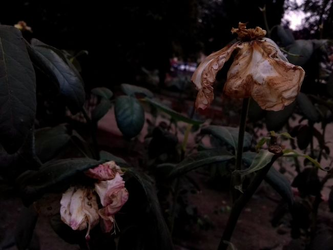 No People Flower Plant Nature Growth Fragility Agriculture Outdoors Flower Head Night Beauty In Nature Freshness Beauty Dead Flowers Leaf Beautiful