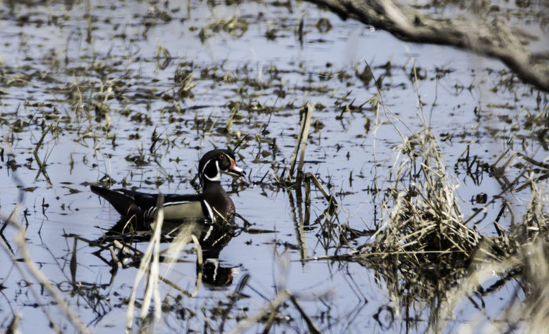 Animal Themes Animal Wildlife Animals In The Wild Bird Day Duck Lake Nature No People One Animal Outdoors Water Waterfowl Woodduck