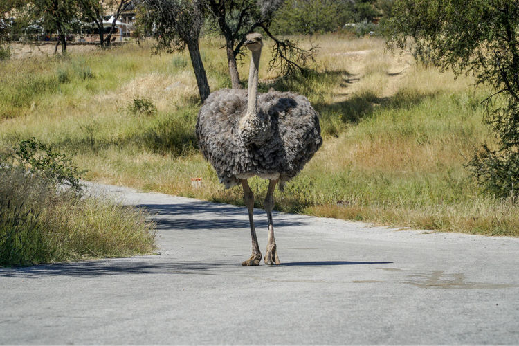 Direct View Of Ostrich Walking On Road