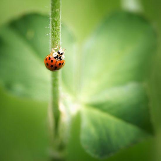 Green Green Color Beautiful Flowers,Plants & Garden Nature Photography Macro Photography Beautiful Nature Macro Colors Ladybug Ladybugs Ladybug😊😊🐞🐞🐞 Ladybug Collection Ladybug🐞 Ladybugs Photography Ladybugmacro Beetle Beetles