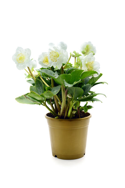 potted white hellebore flower blooming on white isolated background Hellebores Helleborus Helleborus Niger Blooming Blooming Flower Blossom Flower Growth Hellebore Nature Petal Plant Potted Flower Potted Plant White White Background