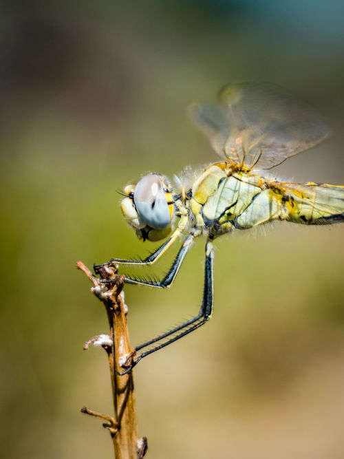 Insect Animal Wildlife Animals In The Wild Focus On Foreground Nature Full Length Animal Themes Close-up No People Perching Day One Animal Outdoors Dragonfly Profile View