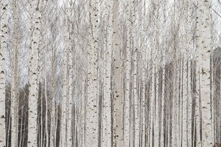 Full Frame Shot Of Bare Birch Trees In Forest