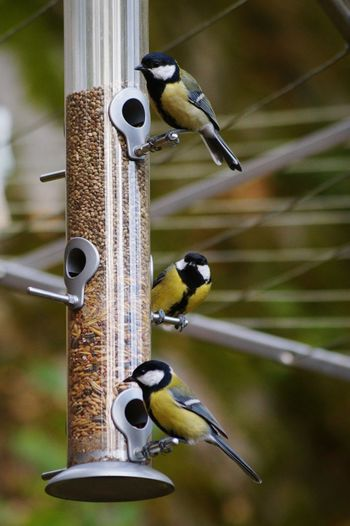 Great tits on bird feeder