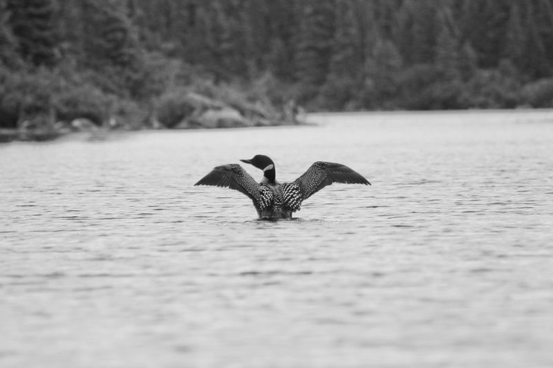 Plongeon huard....loonie.....So a good singer ..... surely my favorite ! Animal Themes Animal Wildlife Animals In The Wild Beauty In Nature Bird Close-up Day Flying Lake Loon Loonies Nature No People One Animal Outdoors Spread Wings Swimming Water Water Bird Waterfront