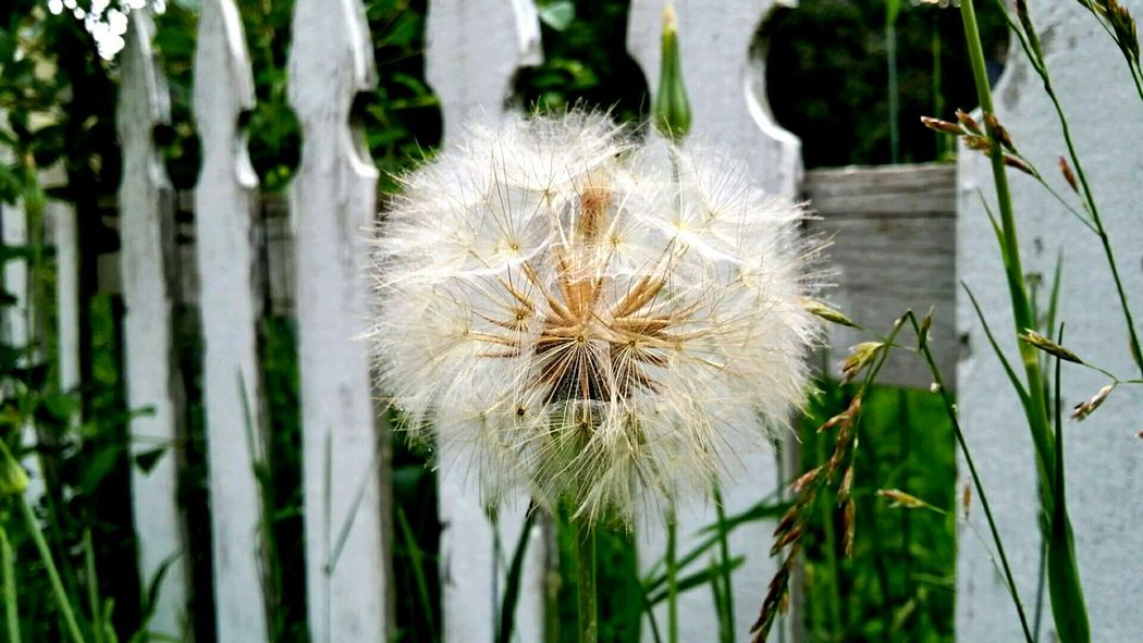 Dandelion White Picket Fences Grass Schaumburg Il Landscapes With WhiteWall Weed