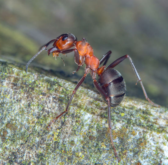 Close-up of an ant Natural Reserve Red Wood Ant, Wood Animal Themes Animal Wildlife Animals In The Wild Ant Benefical Close Up Close-up Close—up Day Forest Formica Horse Ant Insect Insects  Macro Nature No People One Animal Outdoors Rufa Useful