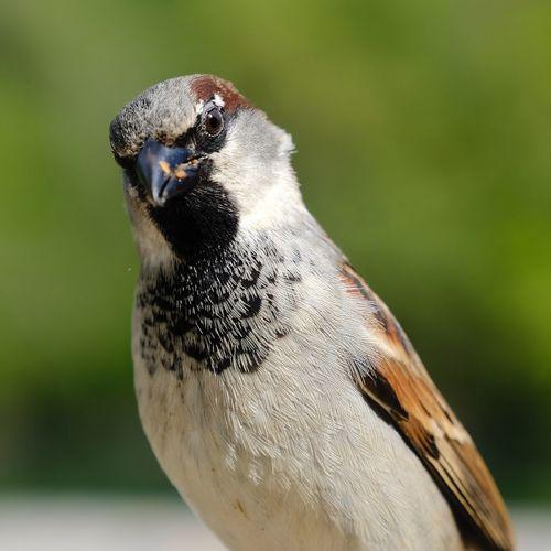 Birdie portrait moineau