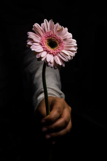 Beauty In Nature Black Background Close-up Flower Flower Head Flowering Plant Human Hand Indoors  Plant Studio Shot