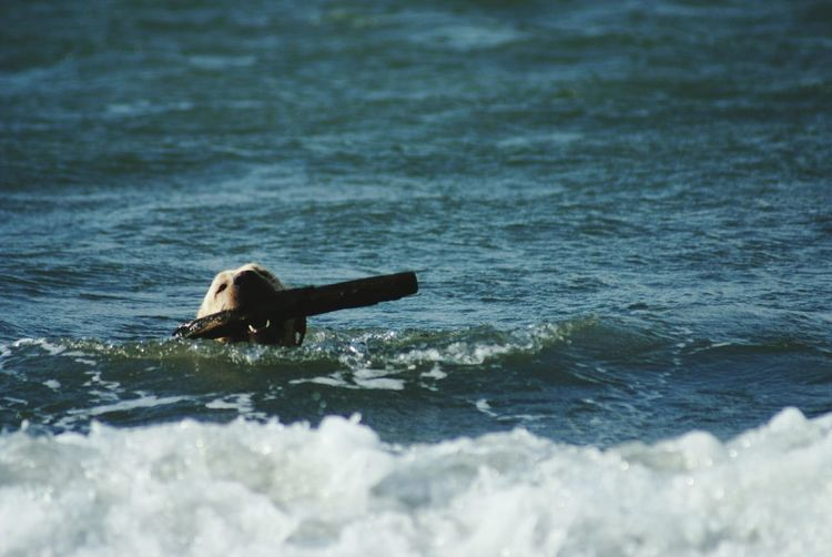 Dog Swimming Dog Life Playing With The Animals Life Is A Beach Ocean Waves Ocean Life Sea Life The Great Outdoors - 2015 EyeEm Awards