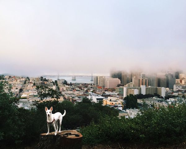 Taken moments before the fog engulfed out fair city by the bay Spud The Dog