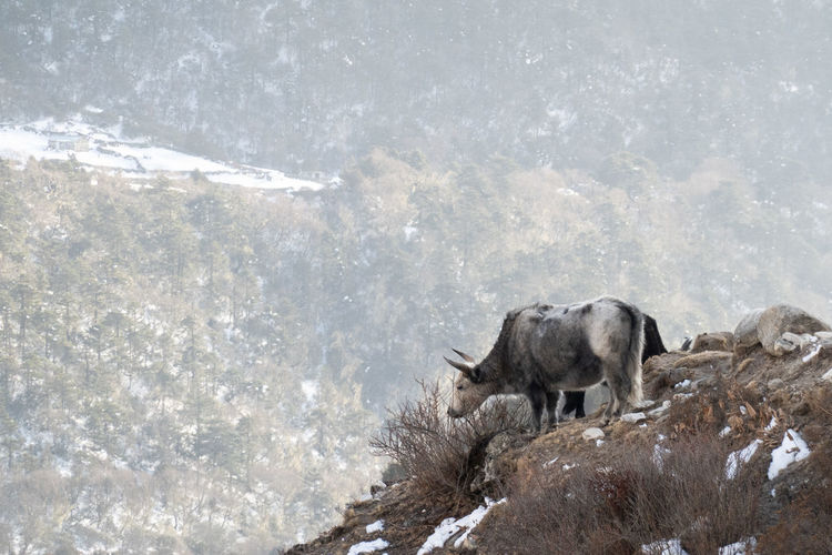 Sheep in a snow