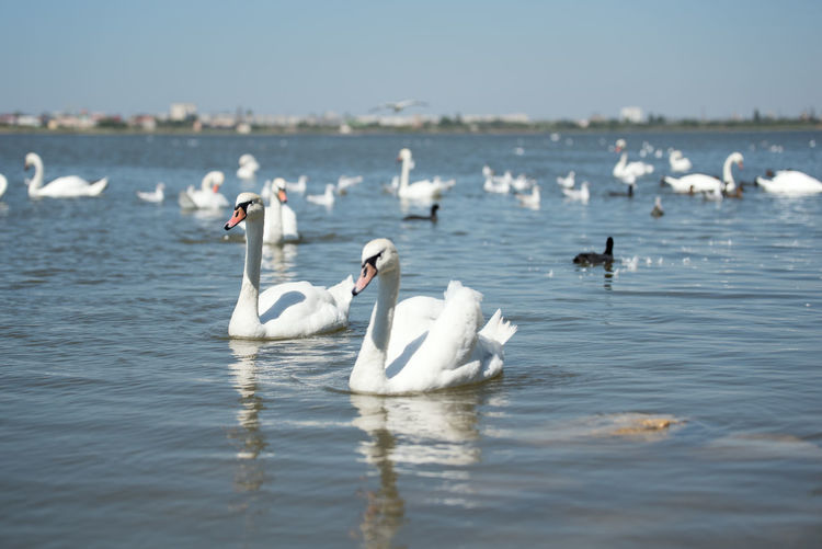 Bird Water Group Of Animals Animal Themes Animals In The Wild Animal Animal Wildlife Vertebrate Waterfront Large Group Of Animals Day Swimming Swan Nature Beauty In Nature Lake No People White Color Outdoors Floating On Water Flock Of Birds
