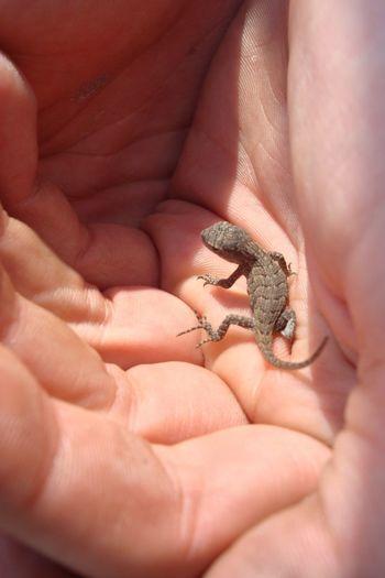 Baby Gecko Gecko Gecko Lizard Boys Human Hand Reptile Pets Palm Child Toe Sea Life Living Organism Close-up