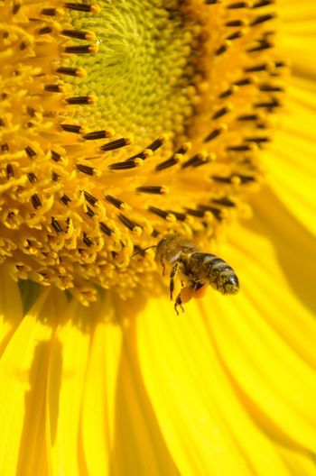 Bee Spring Into Spring Sunflower Flying Bee Wildlife & Nature Yellow The EyeEm Facebook Cover Challenge Bee Fly Bee Hovering Flying Flower And Bee Bee 🐝 Bees Bees And Flowers Yellow Flower Sun Flowers Sunflower Plant