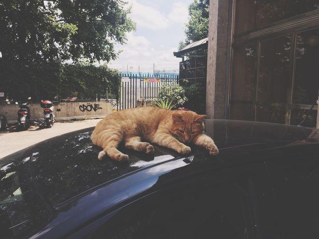 EyeEm Selects Car Domestic Animals cat Pets Land Vehicle Feline