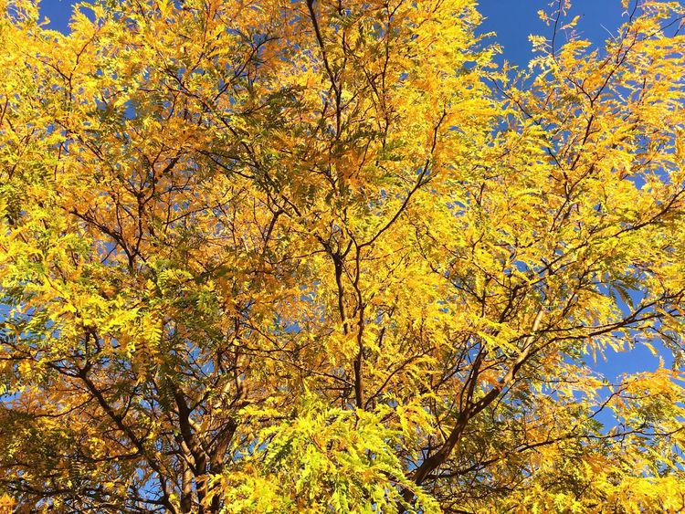 If only one focuses on the beauty of nature s/he will always be cheerful Tree Nature Autumn Yellow Change Beauty In Nature Branch Growth Like4like Outdoors Forest Tranquility Leaf No People Scenics Tranquil Scene Sky Day Yellow Color Yellow Leaves Autumn🍁🍁🍁 Autumnlove Happiness Yellow Is The New Black Waiting Game