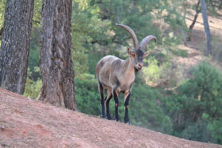 Cazorla Nature Reserve V Jaén Nature Nature Photography No Filter, No Edit, Just Photography Animal Themes Animal Wildlife Animals In The Wild Beauty In Nature Cazorla Day Forest Nature Nature_collection Naturelovers No People One Animal Outdoors Plant Stag Standing Tree Trunk