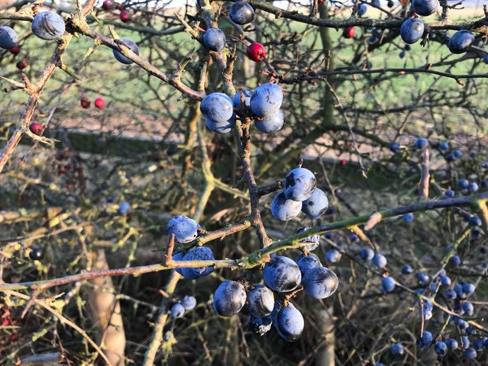 Sloe Berries Fruit Berry Fruit Tree Branch Food Food And Drink Nature Plant Healthy Eating Day No People Growth Freshness Close-up Focus On Foreground Outdoors Beauty In Nature Sunlight