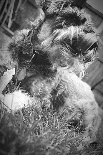 Enjoying a chew in the garden My Dog Miniature Schnauzer Schnauzer Licking Nose Chewing Dog Dogs Dog Tongue Tongue Out Pets Cute Pets In My Garden Animals Black And White Photography Black And White Black & White Nikon D3200