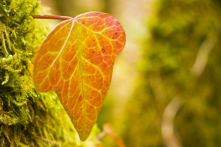 Close-up of fresh orange leaf