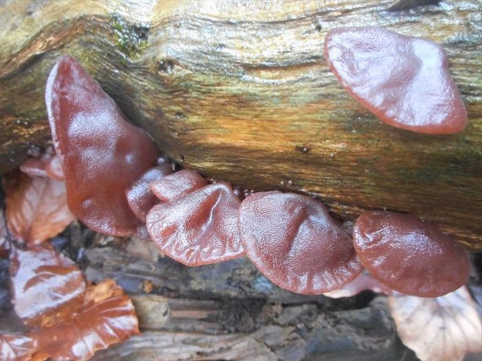 Daytime Freshness Mushrooms Nature Close-up Fungi Fungi On A Log Jelly Ear Fungi Jews Ear Fungi