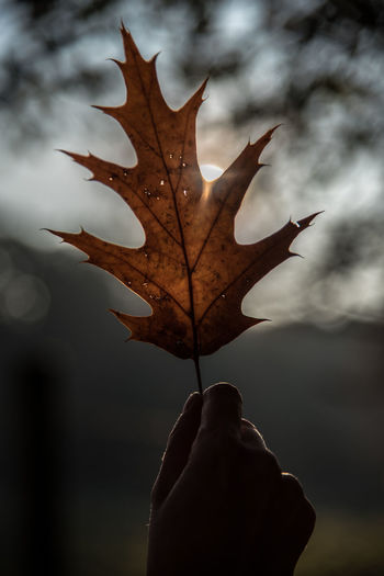 Cropped Hand Holding Dry Oak Leaf During Autumn