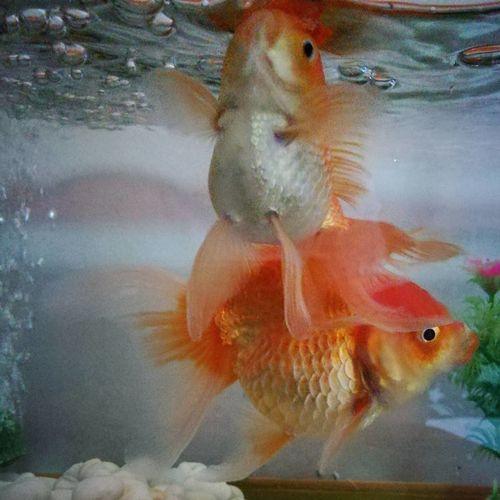 ความจำสั้น Goldfish Goldfishes GoldFish! Fish