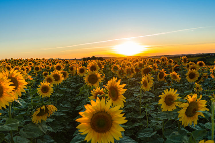 Scenic view of sunflower field against sky during sunset