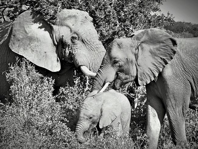 Elephant Animal Trunk Animals In The Wild Animal Wildlife Mammal Outdoors African Elephant Safari Animals No People Nature Tusk Animal Themes Tree Day Elephant Calf Togetherness EyeEmNewHere South Africa Nature Black And White Friday
