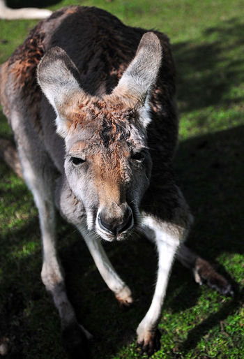 Kangaroo Animal
