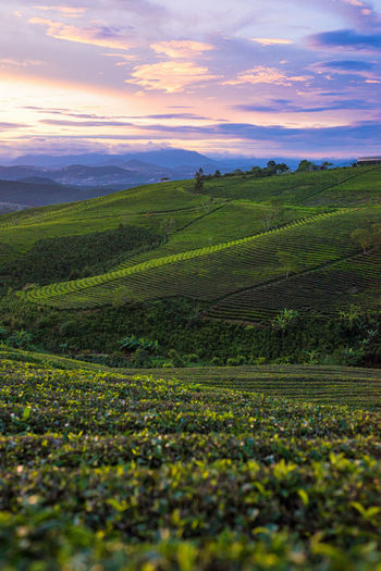 Scenics - Nature Landscape Beauty In Nature Environment Tranquil Scene Sky Tranquility Agriculture Land Cloud - Sky Rural Scene Plant Growth Field Green Color Nature Sunset No People Idyllic Farm Outdoors Tea Plantation Mountains Hills Vietnam Sapa Travel Destinations Travel