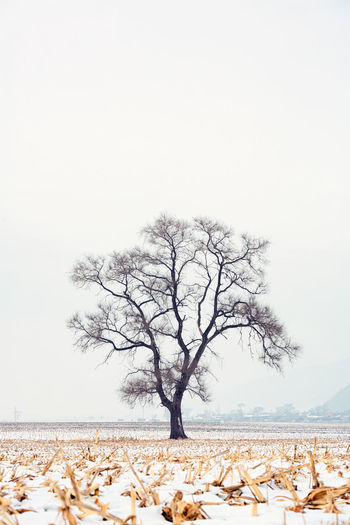 Bare tree on field against clear sky during winter