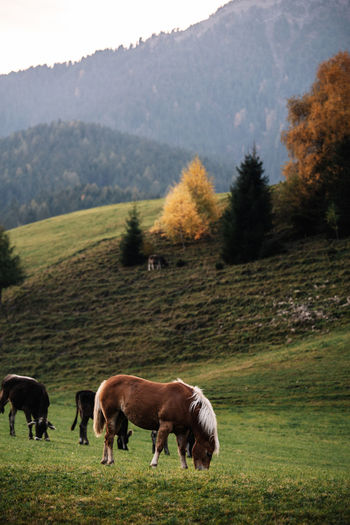 Livestock Domestic Animals Mammal Domestic Plant Animal Themes Animal Pets Land Field Landscape Tree Grass Grazing Vertebrate Group Of Animals Agriculture Horse Environment Nature No People Herbivorous Outdoors Dolomites, Italy