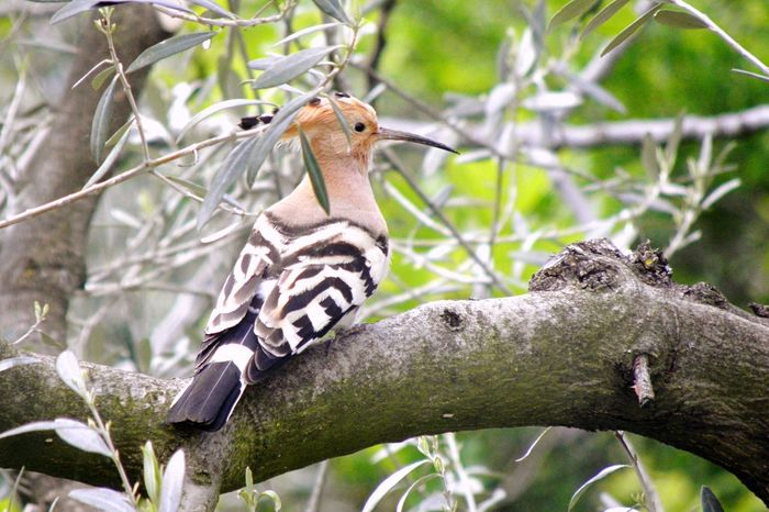 One Animal Animal Themes Animals In The Wild Animal Wildlife Tree Bird Branch Nature Perching Day No People Outdoors Hoopoe Hoopoe Bird Profile Olive Tree