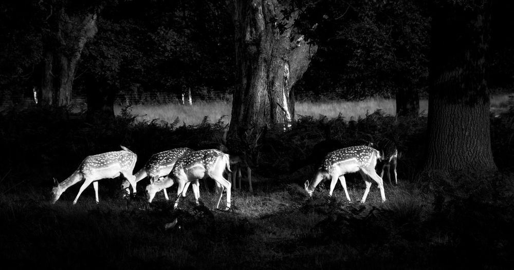 Spotted Deer Fallow Deer Group Of Deer Nature Outdoors Meadow Animals Animal Themes Forsaken Tree Animals In The Wild Beauty In Nature Spotted Fur Spotted The Week On EyeEm Richmond Park, London Natural Habitat Black And White B&w Black And White Animals Postcode Postcards