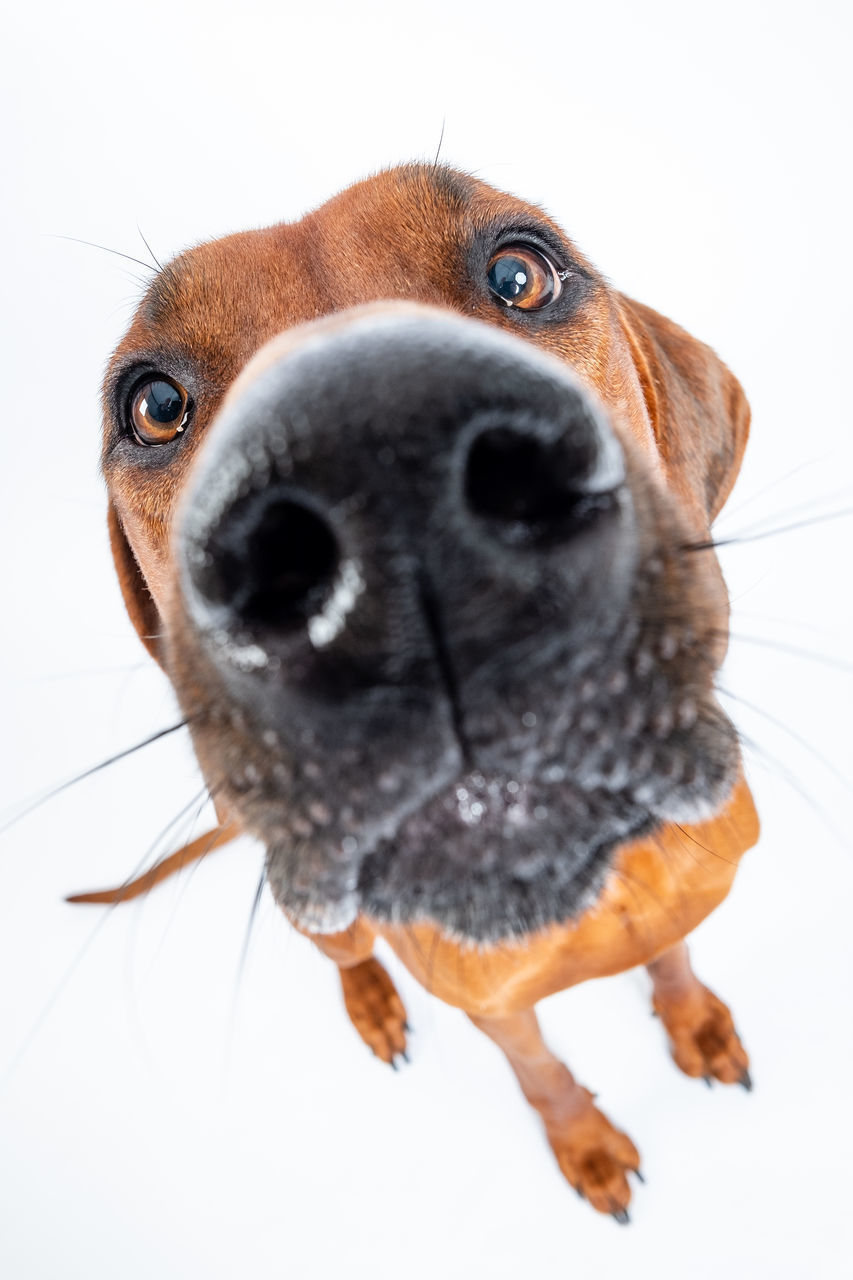 one animal, animal themes, domestic, pets, domestic animals, animal, mammal, canine, dog, indoors, portrait, looking at camera, close-up, white background, animal body part, no people, vertebrate, brown, studio shot, looking, animal head, animal nose, snout, animal eye