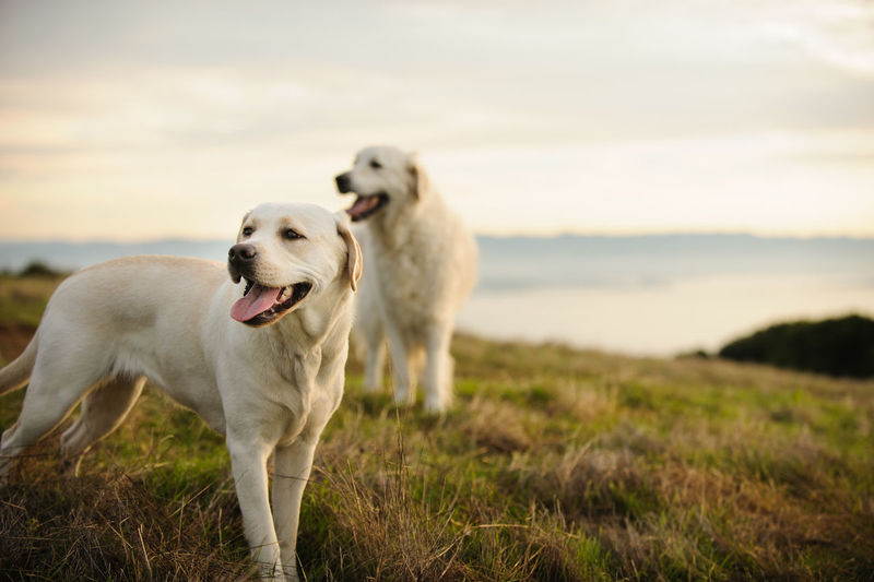 Yellow Labrador Retriever dog outdoor portrait Golden Retriever Horizontal Animal Themes Day Dog Domestic Animals Field Golden Hour Grass Lab Labrador Retriever Mammal Nature No People Outdoors Outside Pets Photography Portrait Purebred Dog Retriever Two Dogs Yellow Yellow Lab
