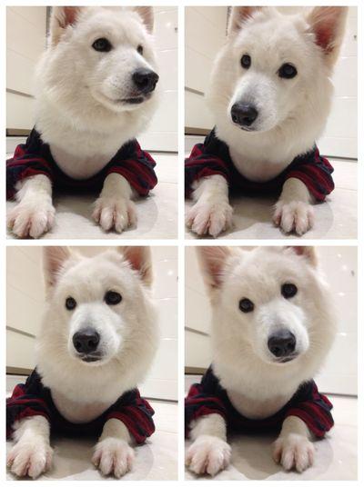 Dog Samoyed Snow Sofi Istanbul