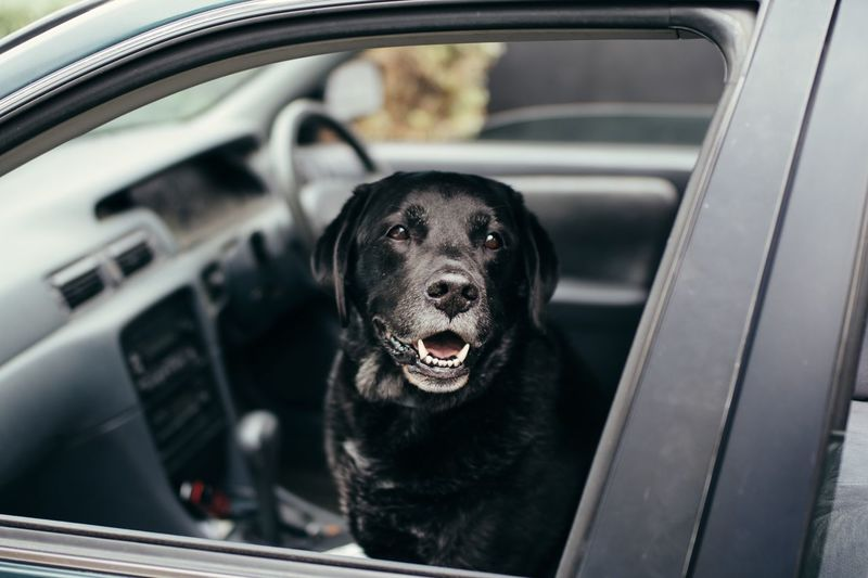 Close-Up Portrait Of Dog In Car