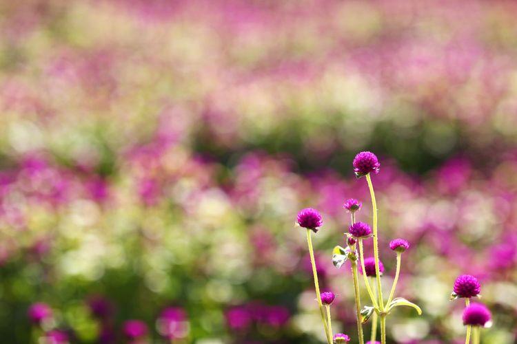 예쁜 가을 빛 천만송이 천일홍 . . #하루한컷 #나리공원 #천일홍 #보케 #5DMARK4 #만투 #EF85MMF12LIIUSM Flower Head Flower Defocused Multi Colored Rural Scene Summer Pink Color Plant Part Pastel Colored Springtime