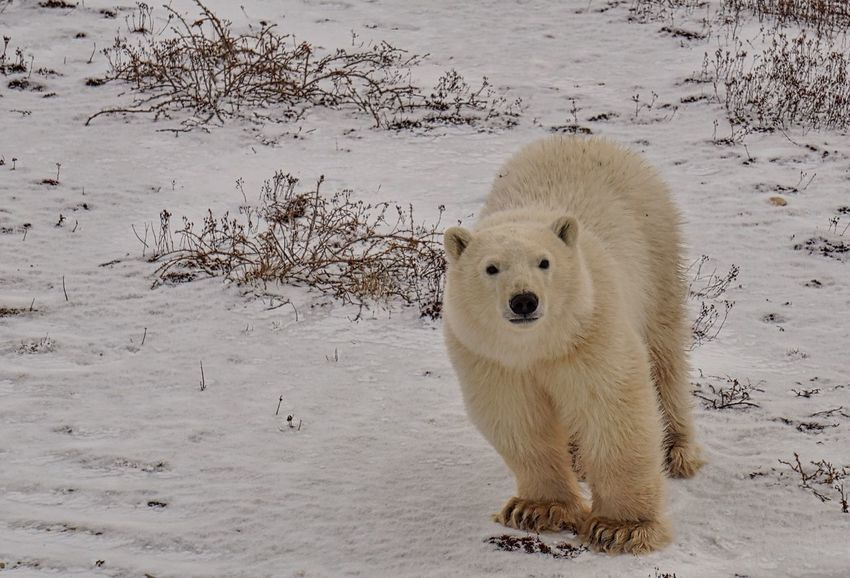 Young Polar Bear checking out the camera Animal Themes Animal Wildlife Animals In The Wild Bear CHURCHILL Cold Cute Day Endangered Species Environment Hudson Bay Looking At Camera Mammal Nature No People North One Animal Outdoors Paws Polar Bear Wildlife Winter Young Animal